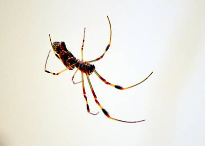 Photograph - Nephila Clavipes by Paulo Zerbato