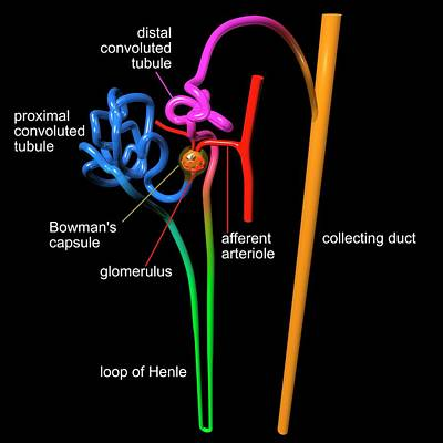 Water Filter Photograph - Nephron Structure by Russell Kightley