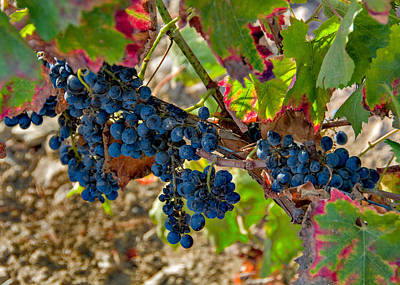 Photograph - Nero D'avola Grapes by Alan Toepfer