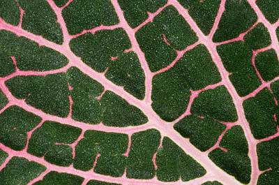 Hothouses Photograph - Nerve Plant Leaf by Nigel Downer