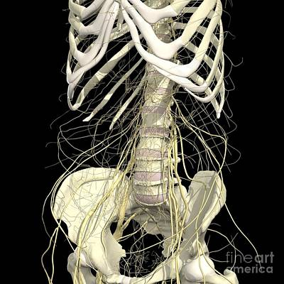 Nerves Of The Abdomen And Pelvis Art Print by Medical Images, Universal Images Group
