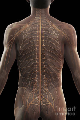 Nerves Of The Upper Body Art Print by Science Picture Co