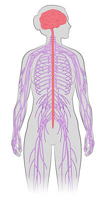 Periphery Photograph - Nervous System, Illustration by MedicalWriters