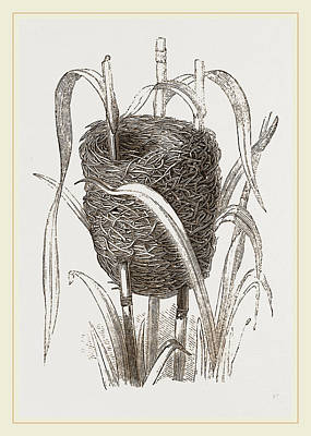 Bunting Drawing - Nest Attributed To Reed-bunting by Litz Collection
