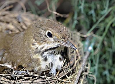 Photograph - Nest In A Tree by Susan Leggett