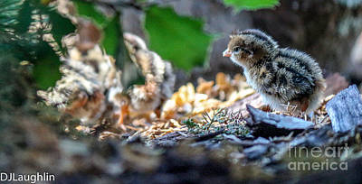 Photograph - Nest Of California Quail Chick by DJ Laughlin