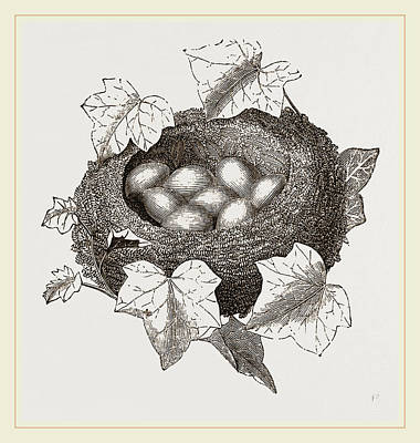Wren Drawing - Nest Of Golden-crested Wren by Litz Collection