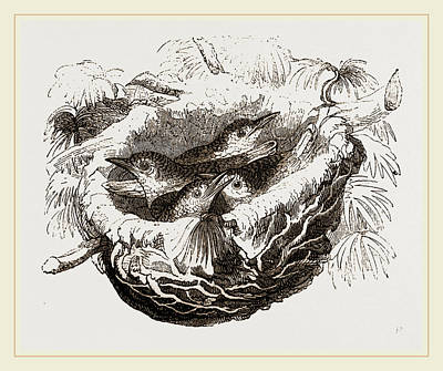 Oriole Drawing - Nest Of Golden Oriole by Litz Collection