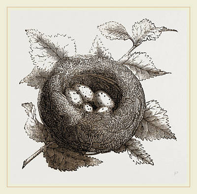 Goldfinch Drawing - Nest Of Goldfinch by Litz Collection