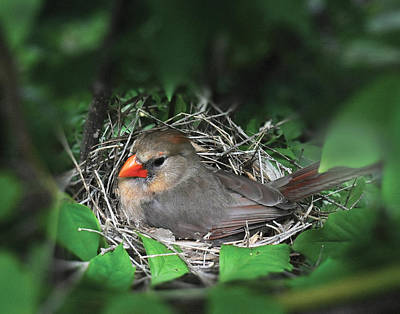 Photograph - Nesting Cardinal by Don Wolf