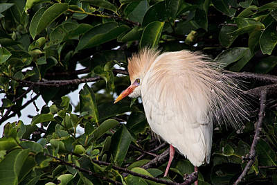 Photograph - Nesting Cattle Egret by Theo OConnor