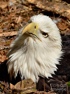 Photograph - Nesting Eagle Portrait by Kathy Baccari