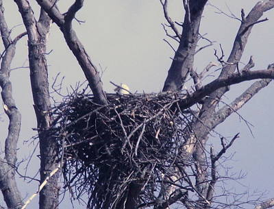 Photograph - Nesting Eagles by Mustafa Abdullah