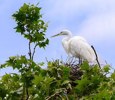 Photograph - Nesting Egret by John Johnson