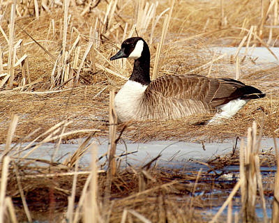Canadian Marsh Photograph - Nesting Goose by Thomas Young