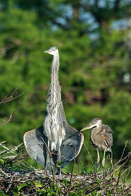 Animal Family Photograph - Nesting Great Blue Herons by Mark Newman