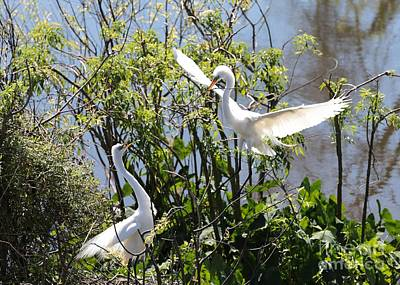Birds Photograph - Nesting Great Egrets by Carol Groenen