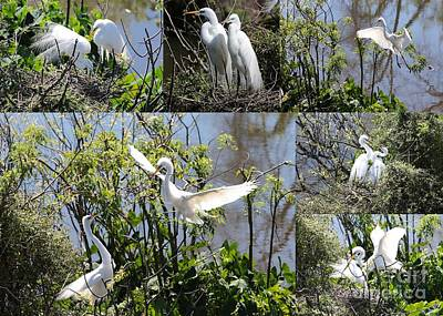 Photograph - Nesting Great Egrets Collage by Carol Groenen