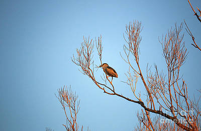 Photograph - Nesting Night Heron by Charline Xia