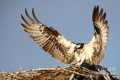 Photograph - Nesting Osprey by Bill Singleton