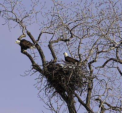 Nesting Pair Of American Bald Eagles 1 Art Print by Thomas Young