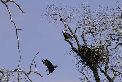Appleton Wisconsin Photograph - Nesting Pair Of American Bald Eagles 2 by Thomas Young