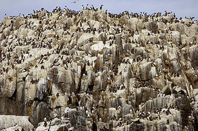 Razorbill Wall Art - Photograph - Nesting Seabirds by Dr P. Marazzi/science Photo Library