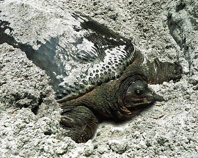 Photograph - Nesting Softshell Turtle. Hal Scott Preserve. by Chris  Kusik
