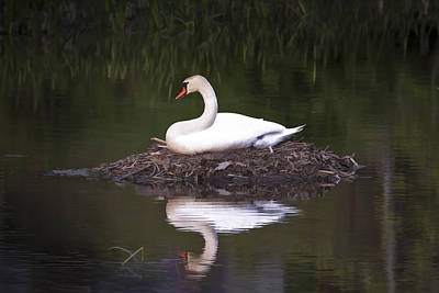 Photograph - Nesting Swan by Jack R Perry