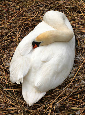 Swans Photograph - Nesting Swan by Jim Hughes