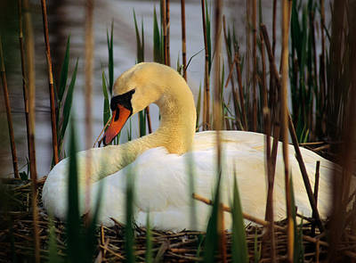 Photograph - Nesting Swan by Michael Hubley