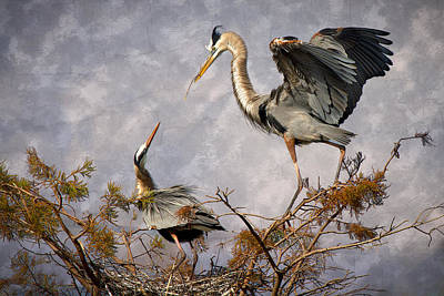 Heron Photograph - Nesting Time by Debra and Dave Vanderlaan