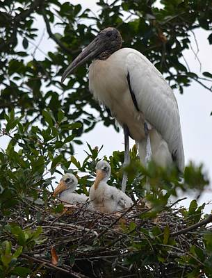 Photograph - Nesting Wood Stork Family by Richard Bryce and Family