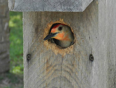 Photograph - Nesting Woodpecker by Grace Dillon