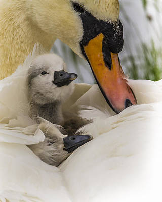 Nestled Cygnets Art Print