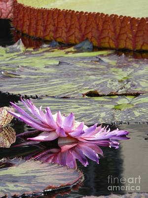 Waterlily Photograph - Nestled by Diane DiMarco