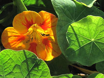 Photograph - Nestled Nasturtium by Suzy Piatt