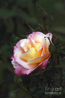 Photograph - Nestled Rose by Chris Anderson