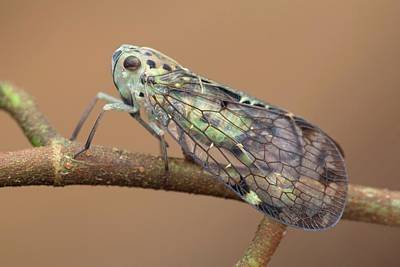 Net Photograph - Net-winged Planthopper by Melvyn Yeo