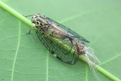 Hatching Photograph - Net-winged Planthopper Moulting by Melvyn Yeo