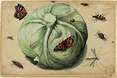 Cabbage Drawing - Netherlandish 17th Century, Head Of Cabbage With Insects by Quint Lox
