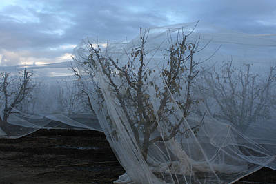 Photograph - Netted Fruit Trees by Marsha Ingrao
