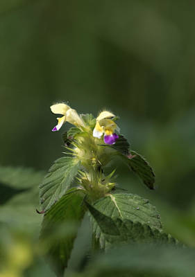 Art Print featuring the photograph Nettle by Leif Sohlman
