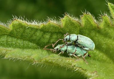 Nettle Weevils Art Print by Nigel Downer