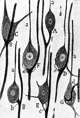 Santiago Ramon Y Cajal Photograph - Neural Connections Illustrated by Science Source