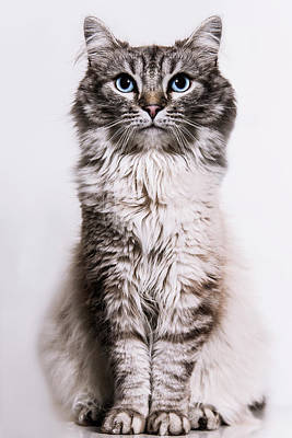 Neva Masquerade Cat In The Studio Art Print by Kevin Vandenberghe