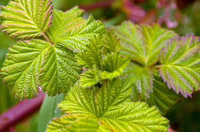 Photograph - New Black Berry Leaves by Tikvah's Hope