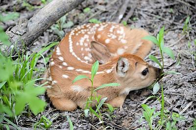 Photograph - New Born Fawn by Bonfire Photography