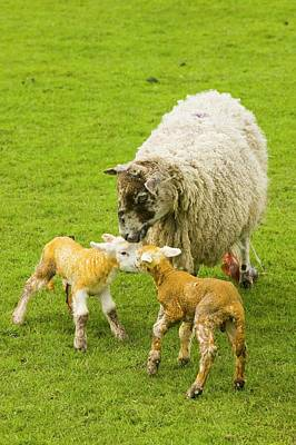New Born Lambs And Mother Art Print