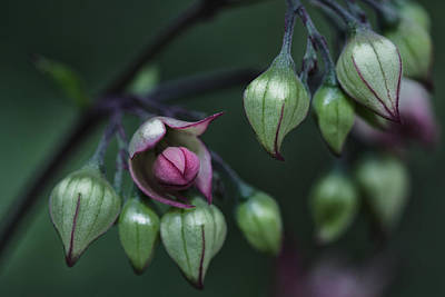 Photograph - New Bud by Zoe Ferrie